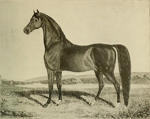 zdjęcie arabian horse