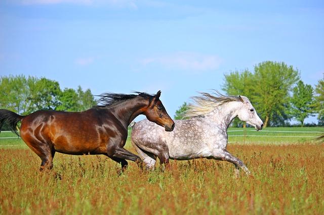 Zdjęcie koni arabskich