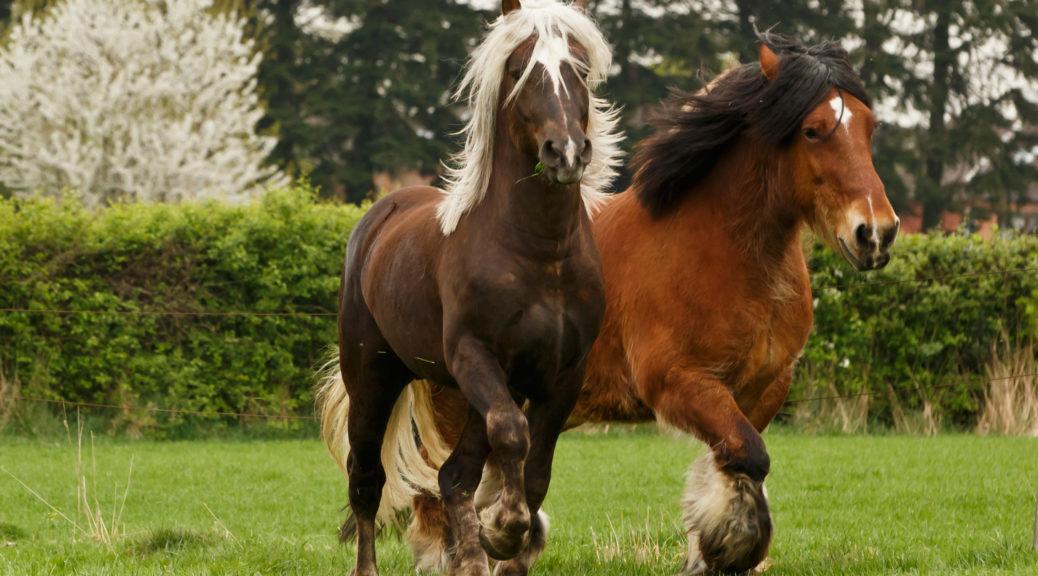 Konie belgijskie