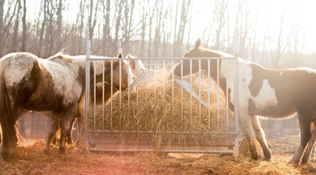 Konie jedzące siano