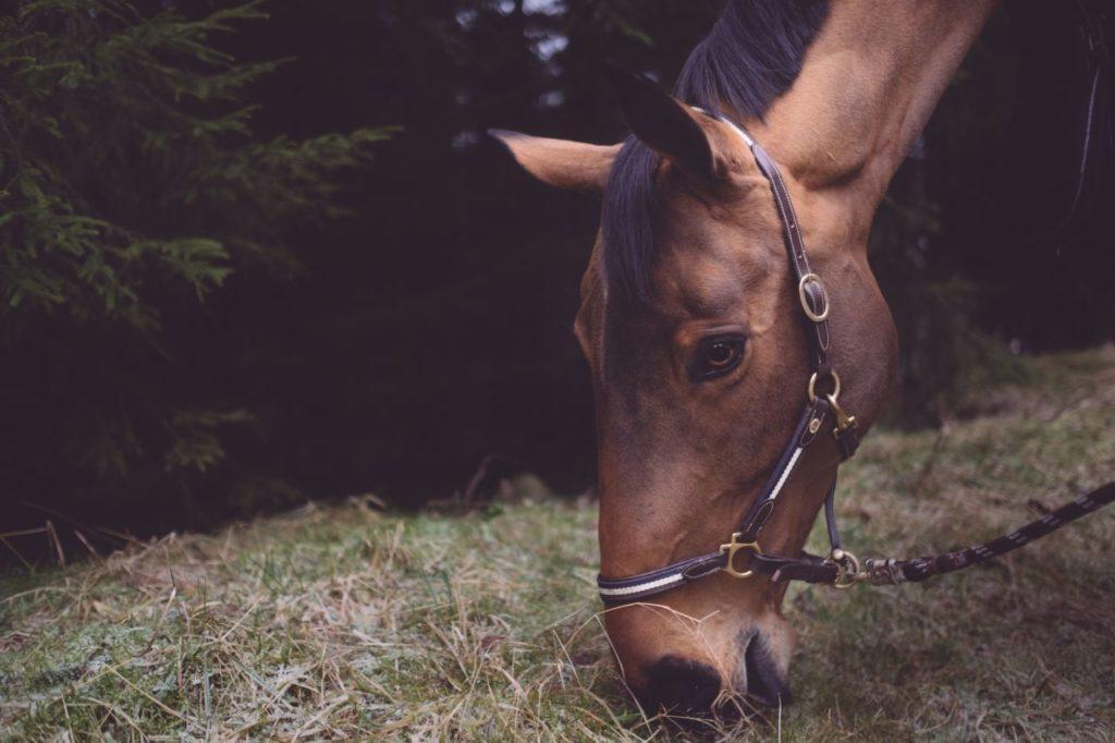 Koń jedzący siano
