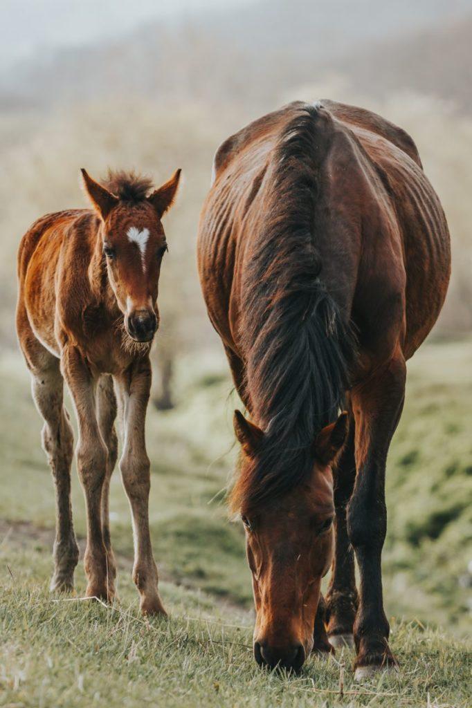Koń i źrebak jedzący trawę