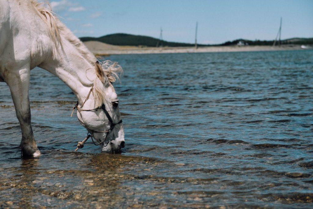 Koń pijący wodę