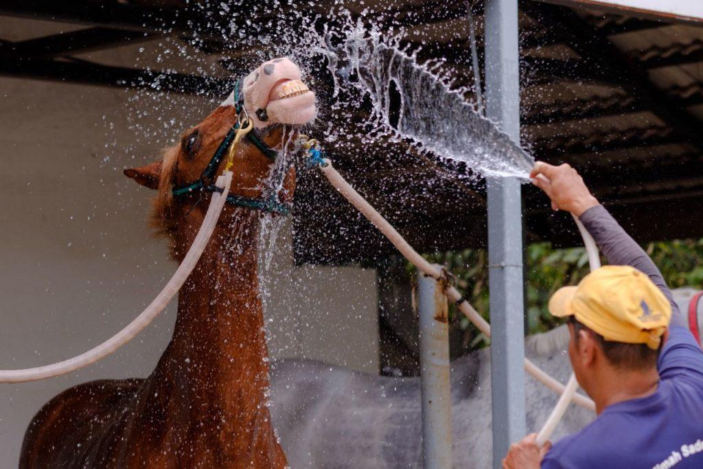Koń polewany wodą