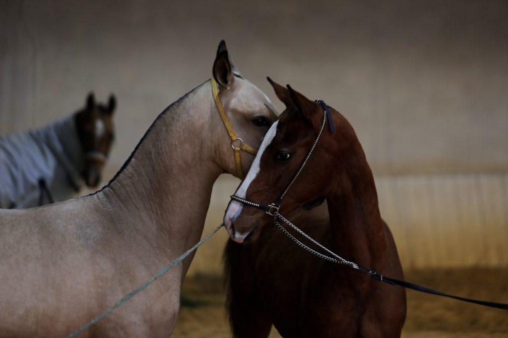 Piękne konie na prezentacji