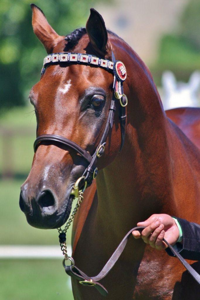 Prezentacja konia arabskiego