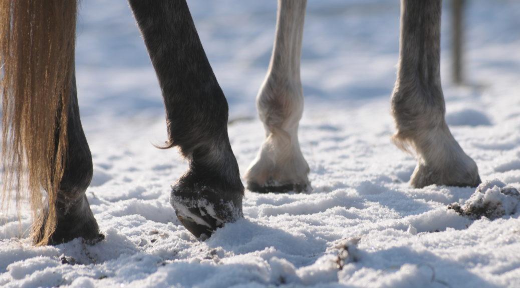 Końskie kopyta zimą