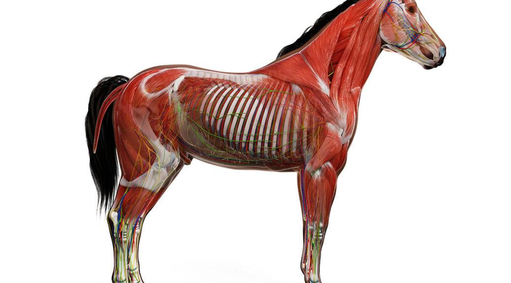 Budowa anatomiczna konia